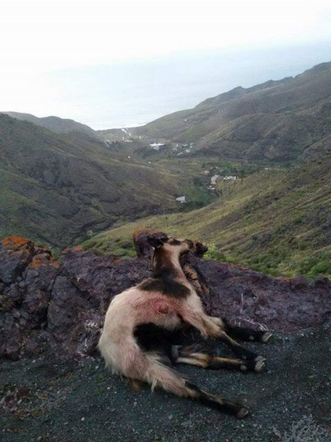 20160508124116-cabras-asesinadas.jpg